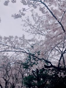 近所の桜がとっても綺麗です♪