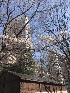 ((桜が咲きました*))