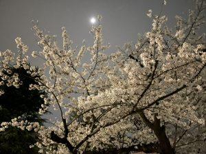 サクラ*春